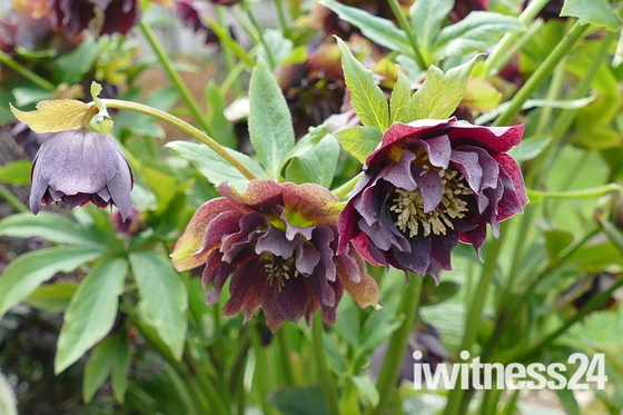 HELLEBORE IN BLOOM IN MY GARDEN AT HEMPTON