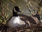 goose sitting on eggs