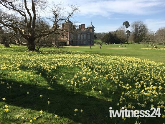 Daffodils at Blickling Hall