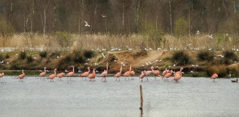 Flamingo's in het wild net over de grens