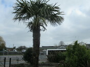 Palm tree in Allhallows Park, Honiton