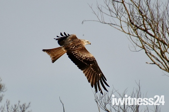 Red kite over Washbrook fields