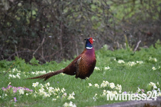 A Pheasant in the snow flurries on Easter Monday