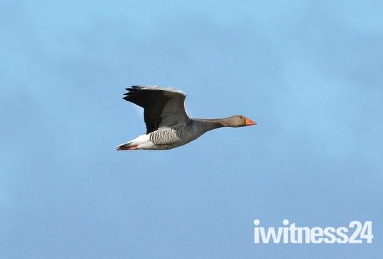 greylag goose ; nwt cley marsh.
