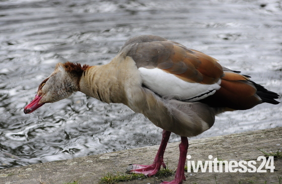 Egyptian Goose Shaking Itself after coming out of water
