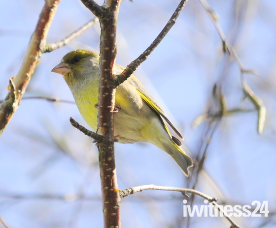 Greenfinch in sunny weather river wensum