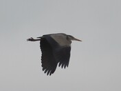 Heron in flight