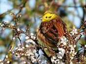 Yellowhammer in the Blackthorn hedge.