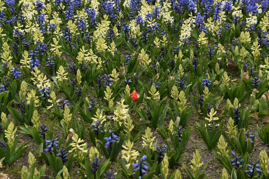 Verdwaald tussen de hyacinten