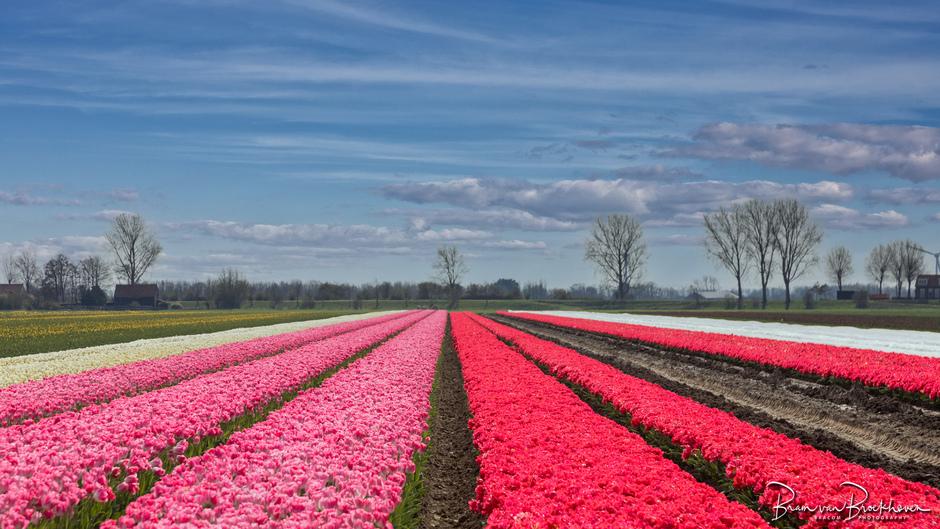 Tulpen onder plastic geteeld