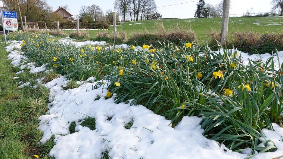 Narcissen omgeven door sneeuw