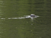 Seal In River Wensum Near Bishop Bridge