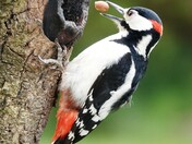 Great Spotted Woodpecker in the garden .