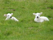 Spring lambs in Ickworth Park today.