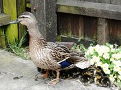 Mallard duck family visit my garden this evening.