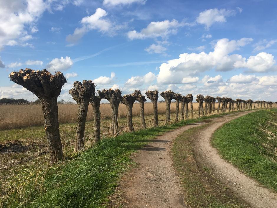 Hollands plaatje: geknotte wilgen, schapenwolkjes, blauwe lucht