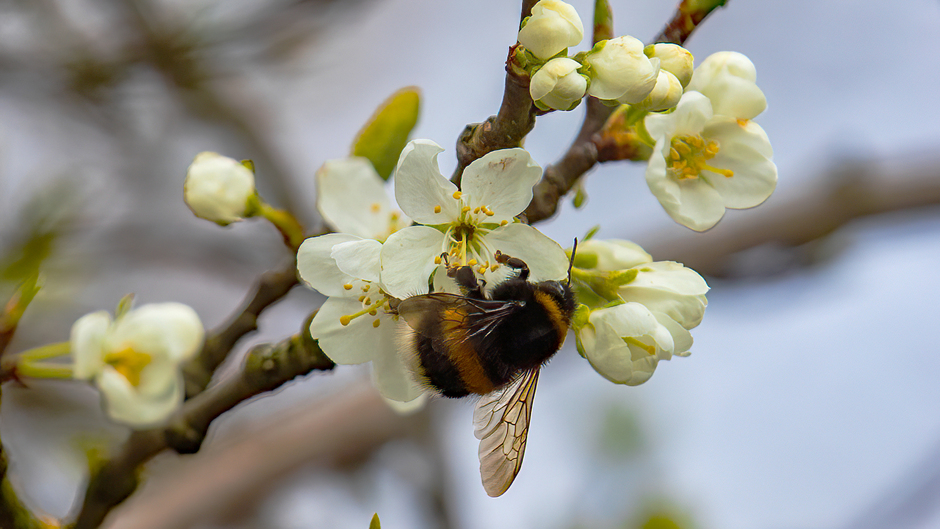 Bumblebee Breakfast in the Sun