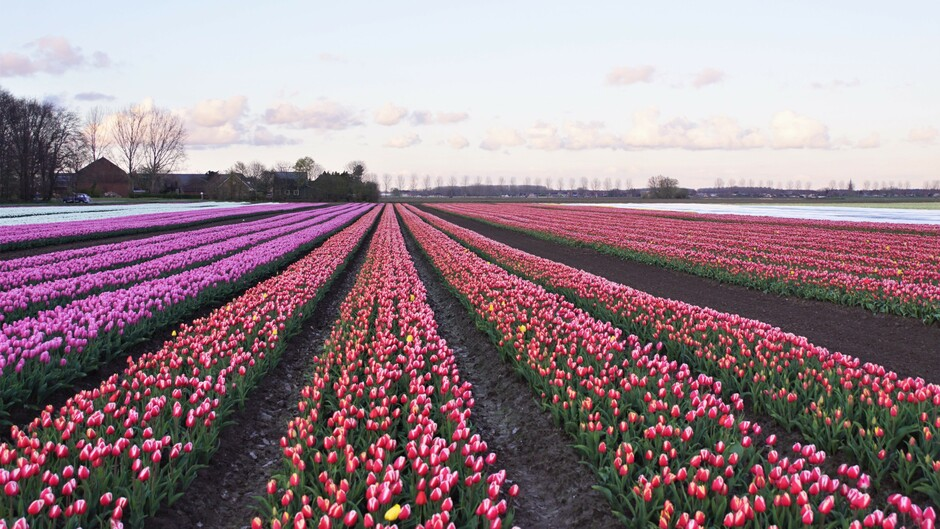zon blauw wolken tulpen velden  8 gr