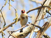 Goldfinch in the sun