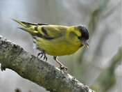 """Claws"" Dancing Siskin"