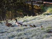 Ducks and Ducklings in the frost