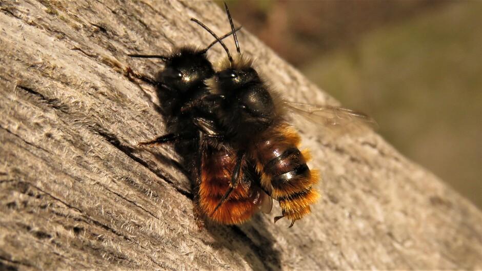 Paring van gehoornde metselbijtjes