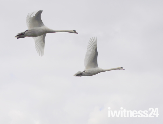 Swans at UEA IN flight