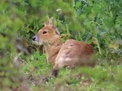 Chinese water deer enjoying the sunshine in Shernborne