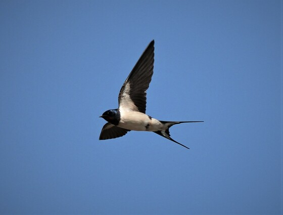 Is it summer? several swallows today