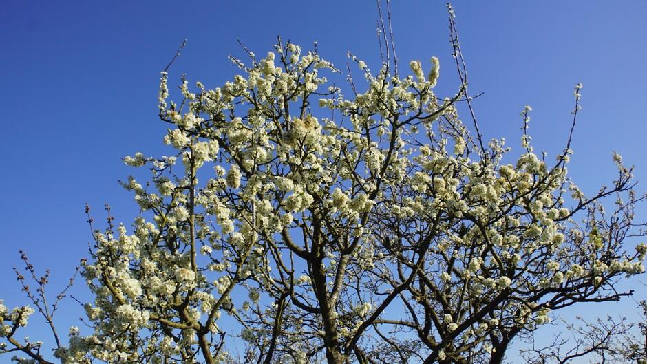 zonnig strak blauwe lucht 7 gr pruimenbloesem