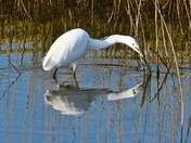 egret reflections ; nwt cley marsh.