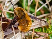 Male Adders & Bee-fly on Hellenge Hill