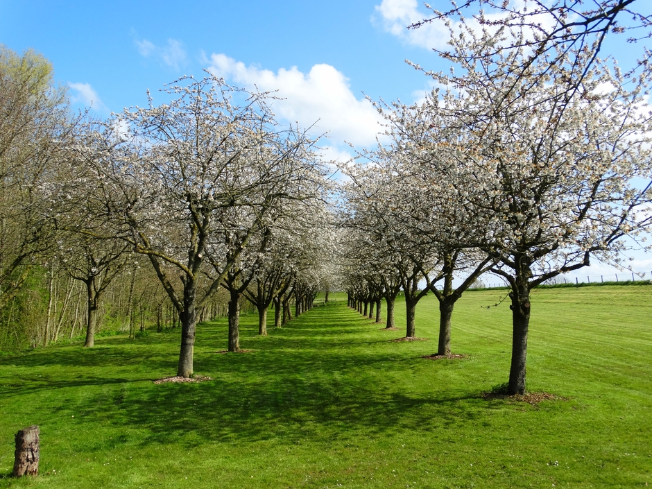De kersenbomen staan volop in bloei