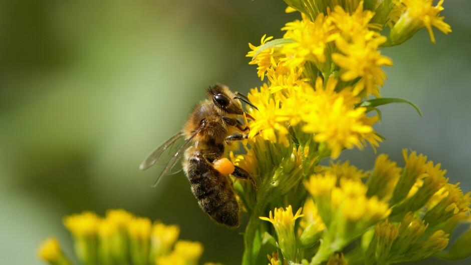 1 honingbij. Bijen tellen.
