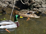 Frenze Beck Mallards and Duckings