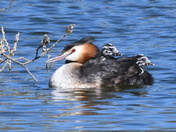 Great Crested Grebe Family and Robin and Beautiful Blue Tit