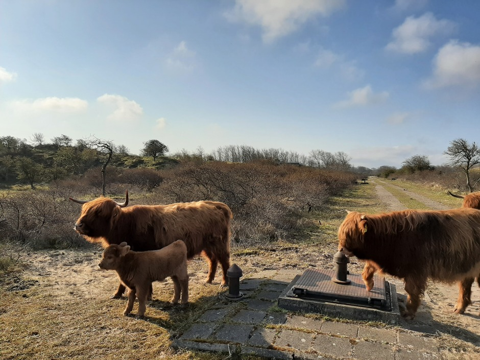 Schotse Hooglanders met kalfje in de duinen
