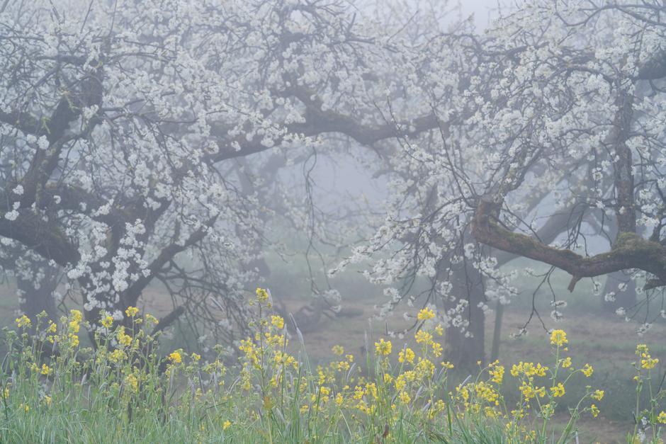 Mystieke sfeer in een oude pruimen boomgaard