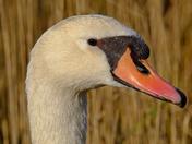 Mistley swans
