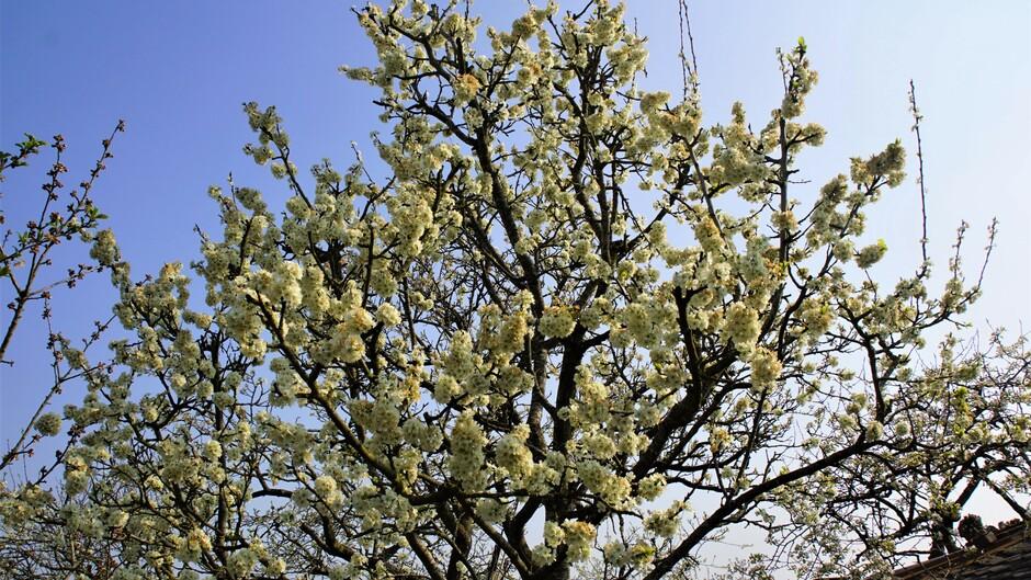 zonnig blauw 11 gr volop bloesem aan de pruimenboom