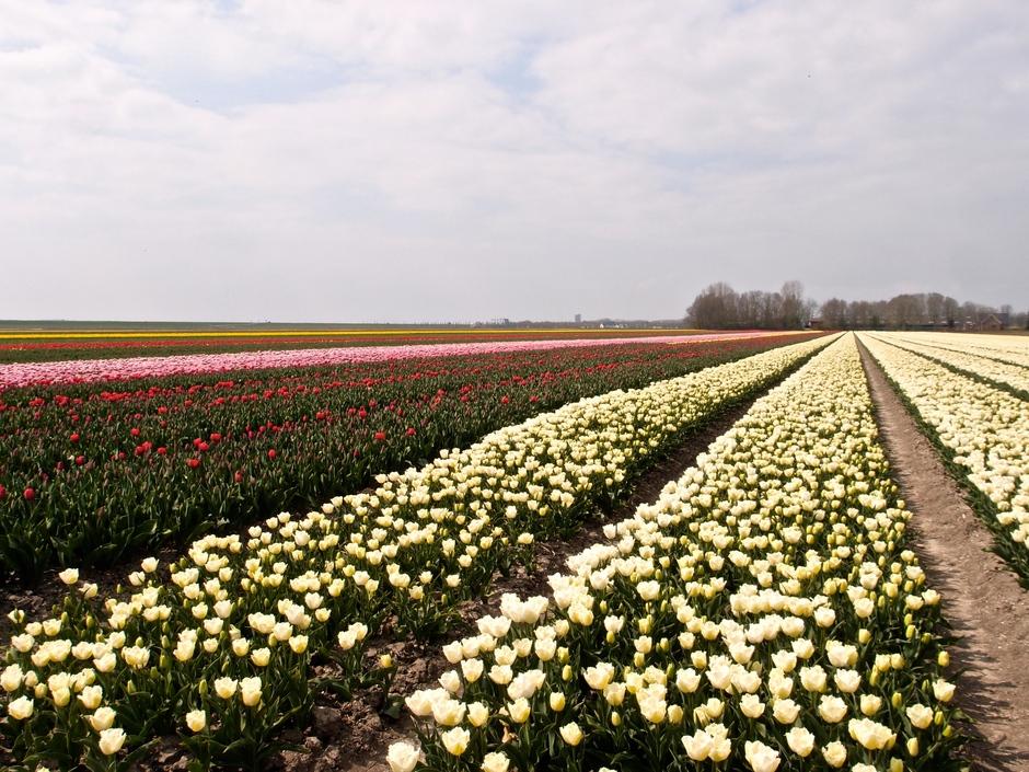 20-04-2021 Bollenveld in Almere-Haven
