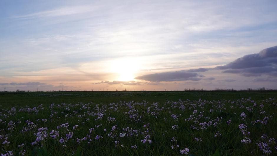 Pinksterbloemen en een zonsondergang
