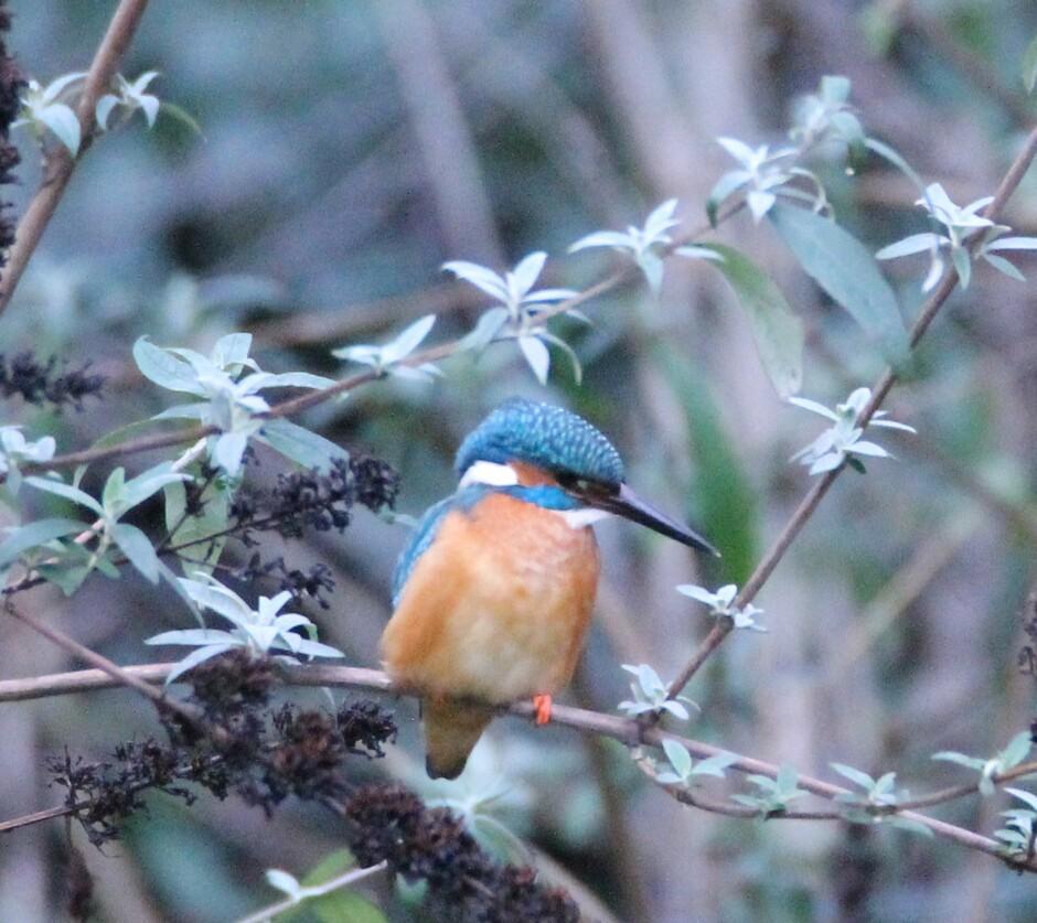 Mijn favoriete vogel! t ijsvogeltje