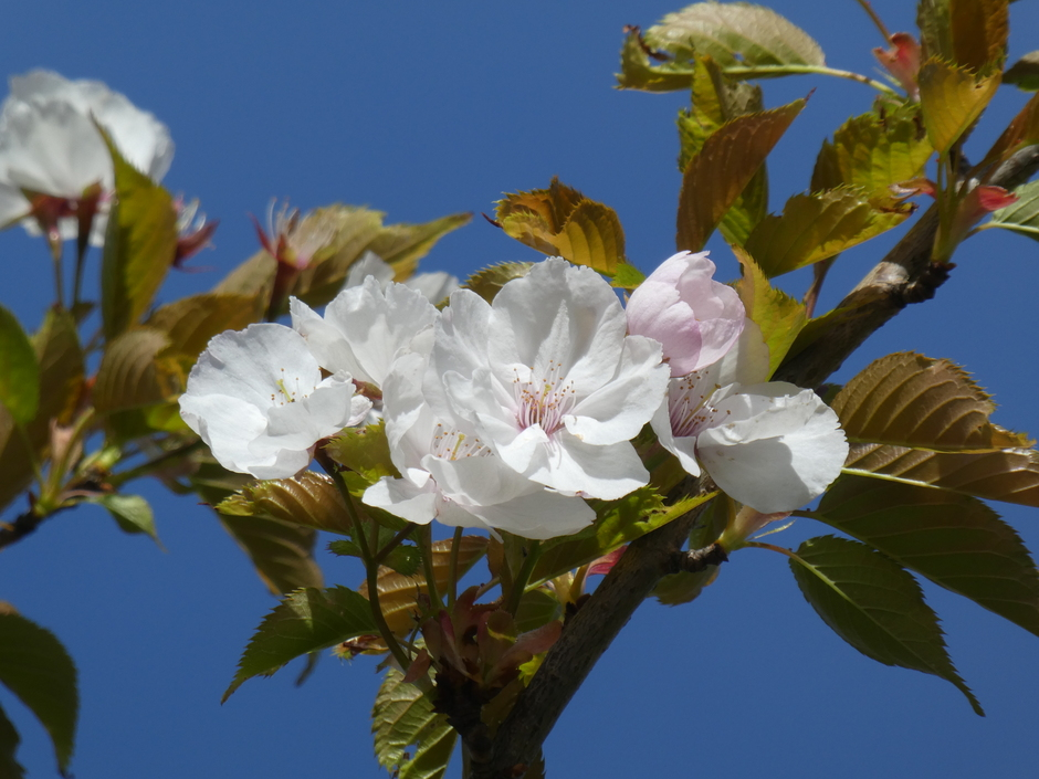 overal bloeien de bloesembomen