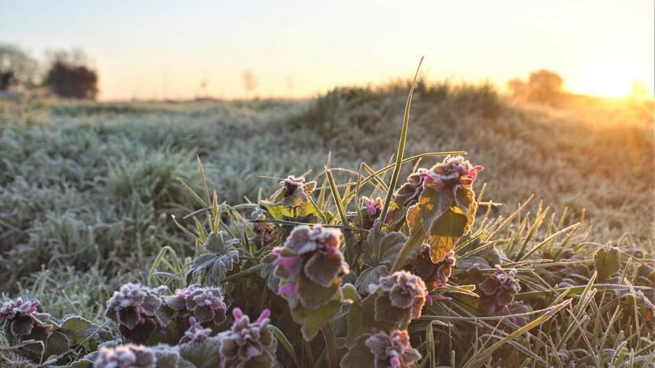 berijpte dovenetels in de wei 0 gr vanmorgen  met zonsopkomst