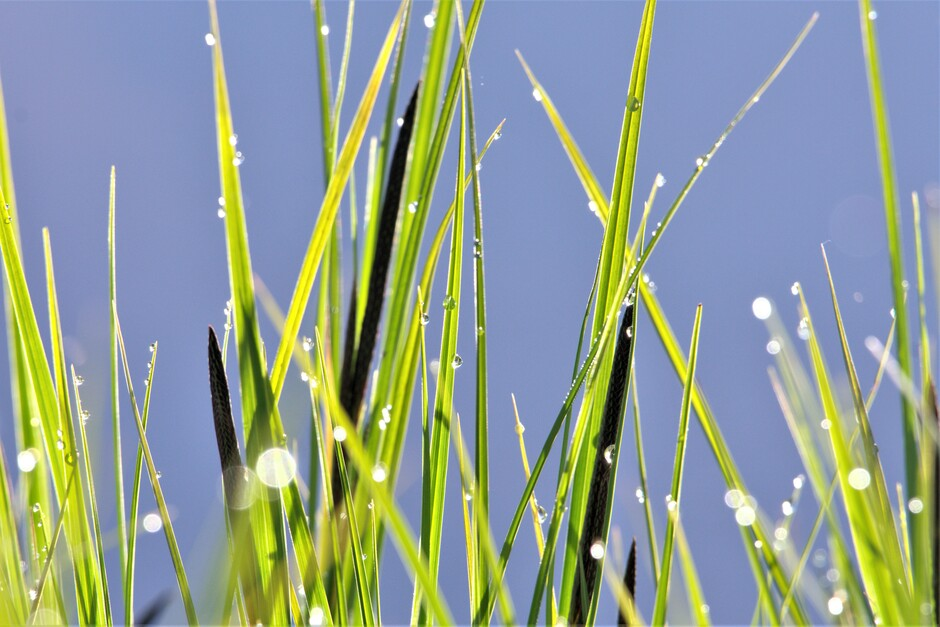 Dauwdruppeltjes op het gras