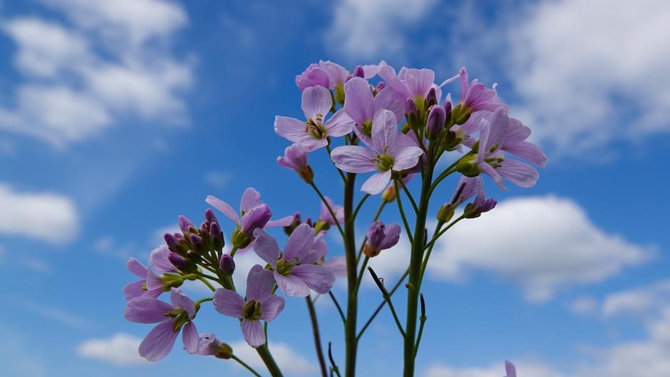 Pinksterbloemen - wolken en zon