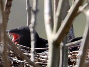 Baby Rooks waiting for feed