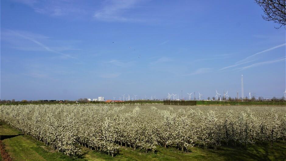 zon blauw sluier volop perenbloesem in de boomgaard 13 gr