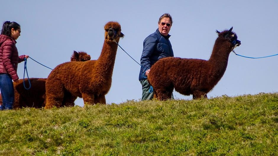 Zonnig wandelweer met Alpaca's